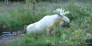 A white moose takes a bath in a Swedish lake