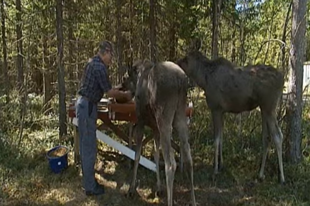 Pet moose calves